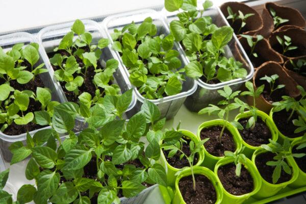 Vegetable Seeds Indoors vs Outdoors